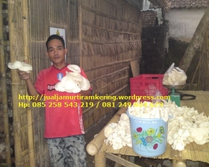 Grosir jamur tiram Banyuwangi